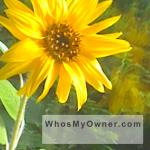 wmo-iphone-wallpaper-sunflower-tpl